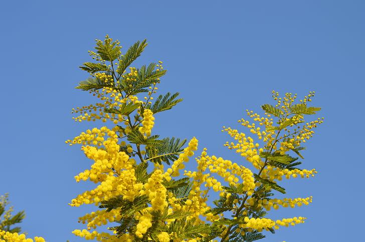 Mimosa, lilled, kollane, kollane lill, Prantsusmaa, Aed, Provence