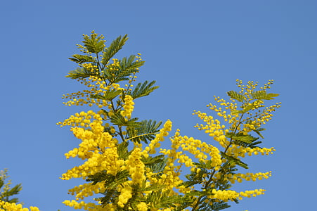 mimosa, flowers, yellow, yellow flower, france, garden, provence