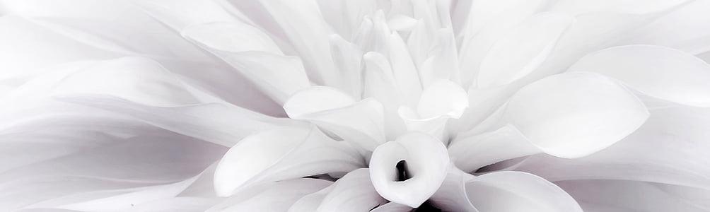 flor, dàlia, blanc, tancar, jardí de dàlia, finals d'estiu, flor de dàlia