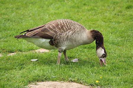 дивата гъска, птица, вода птица, природата, прелетни птици