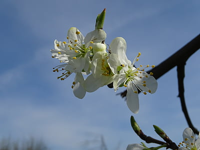 blossom, bloom, cherries, cherry blossom, branch, white blossom, fruit tree