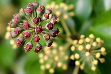 osivo, pod, rastlín, Príroda, seedpod, jedlo, makro