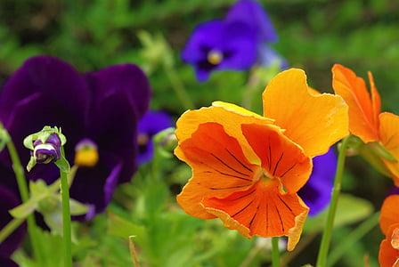 bratek, roślina, kwiat, Natura, wiosna, kwiaty, fioletowy