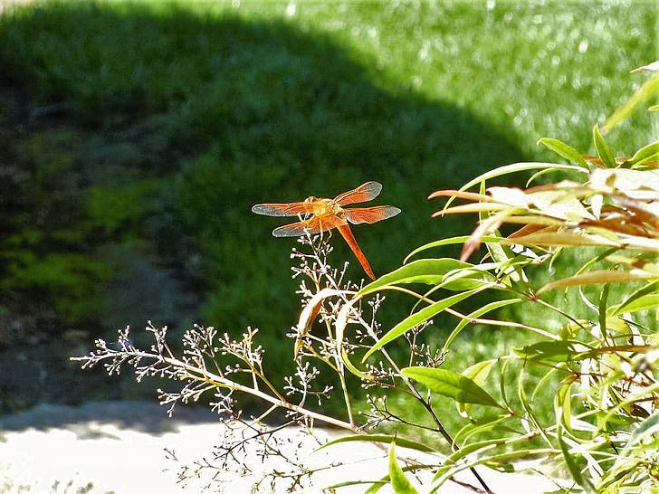 vilin konjic, priroda, narančasta, smuđ, prirodni