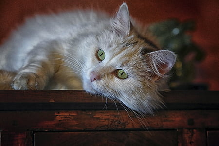 cat, animal, animals, longhair cat, cat eyes, cat face, domestic animal