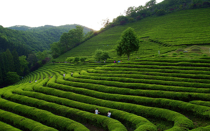 klitschko, whether or not, k, nature, agriculture, tea Crop, hill