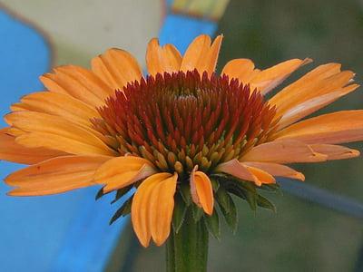 Coneflower, kerucut, bunga, alam, tanaman, Echinacea, Taman