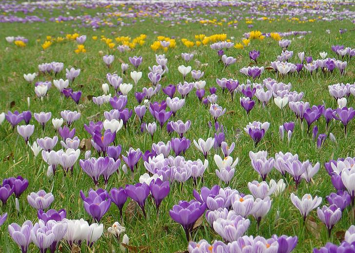 crocus, flower meadow, spring meadow