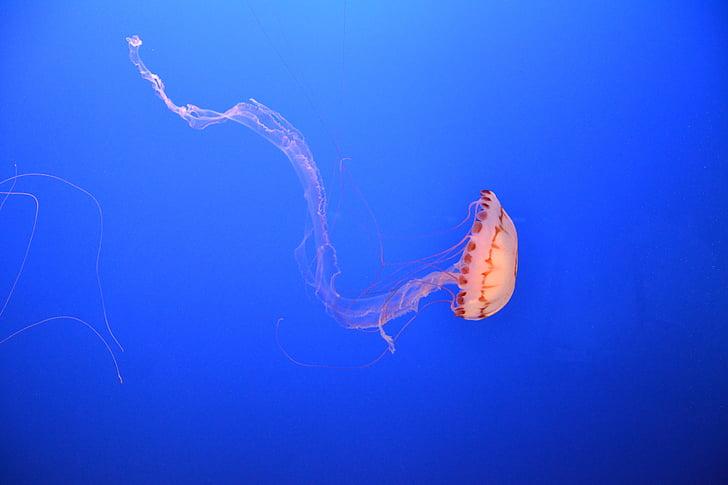 more, Ocean, pod vodou, medúzy, akvárium, Sealife, morský život