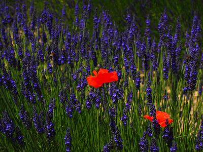 Valmue, blomster, rød, blå, Samuel, sommer, lavendel