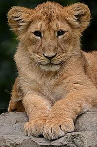 lion, cub, animal, nature, mammal, undomesticated Cat, lion - Feline