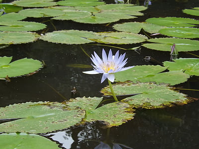 lilie, osvícenství, Buddha, Lotus, symbol, Spiritualita, meditace