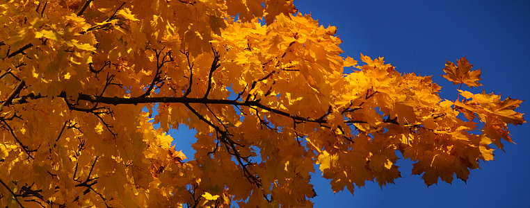 auró, fulla d'auró, fulla, tardor, colors vius, groc, cel blau