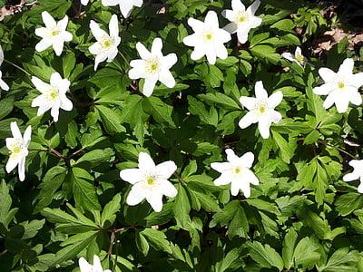 vetrnic, cvetje, spomladi cvet, Pomladnega cvetja, pomlad, bela, zelenje