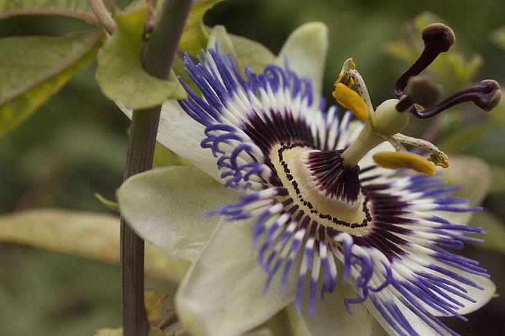 flor de la passió, close-up, planta de la passió, fora, floració
