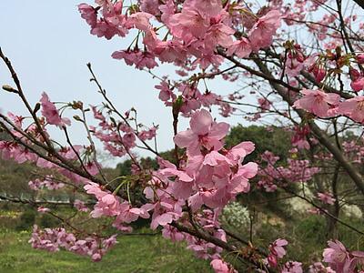 cirera, sakura la llum del sol, primavera, flors de primavera, cirerer, primavera al Japó, principis de primavera