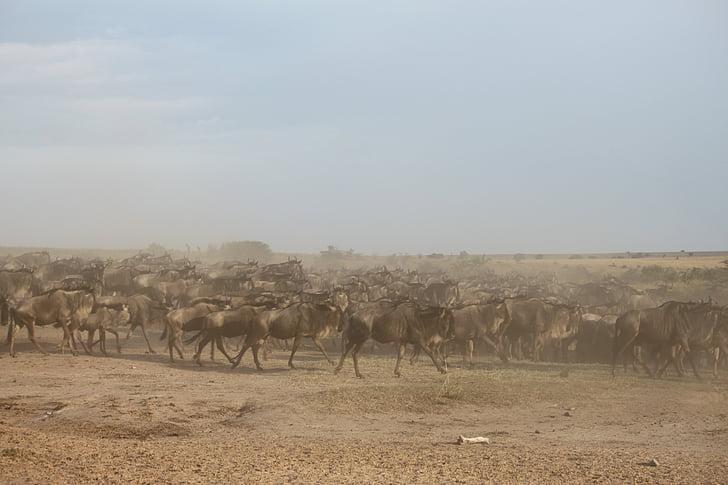gnuu muuttoliike, suuri muuttoliike, gnuu, maahanmuutto, Kenia, Afrikka, Serengeti