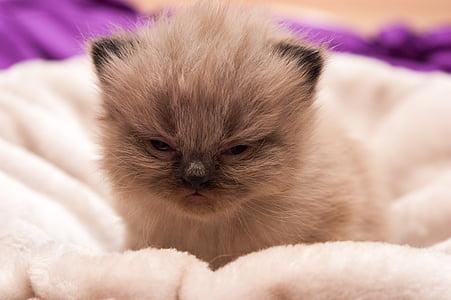 cat baby, persians, cat, baby, domestic Cat, pets, cute