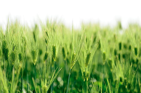 natural, plant, green, field, wheat, spring, japan