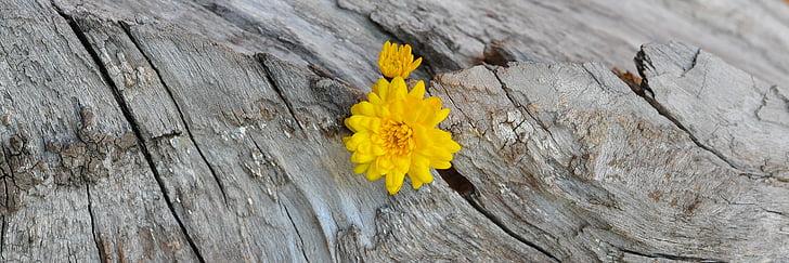 Chrizantema, geltona, medienos