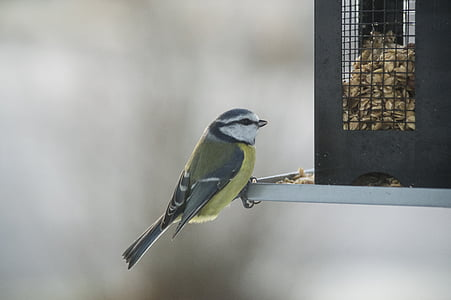 малки птици, птица маса, птица храна, птица, семена, хранене, мес