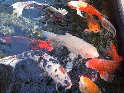 peix, l'aigua, eixam de peixos, nishikigoi, Koi, cultivar, carpa
