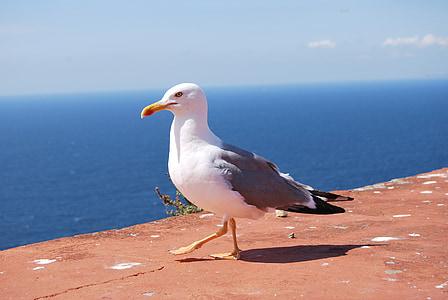 Gavina, Àguila de mar, Mar, Atlantica