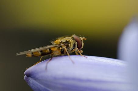 sírfid, mosca de voltar, macro, volar, insecte, natura, vida silvestre