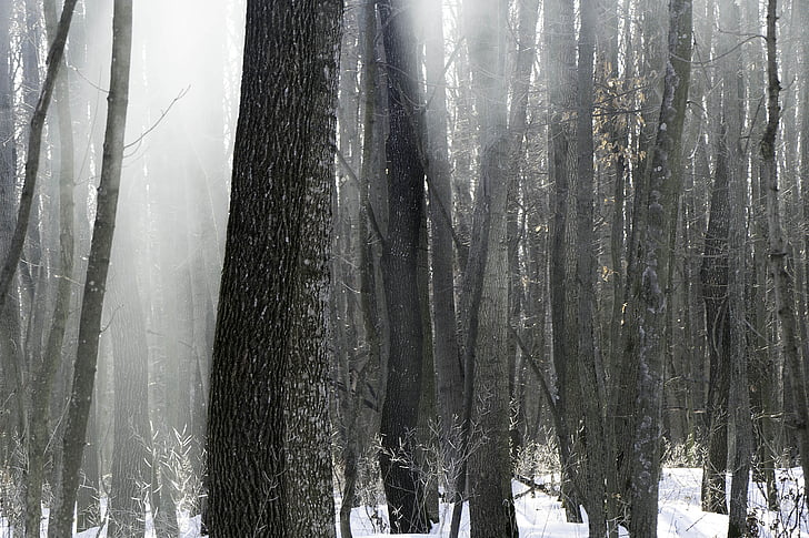 forest, nature, winter, winter forest