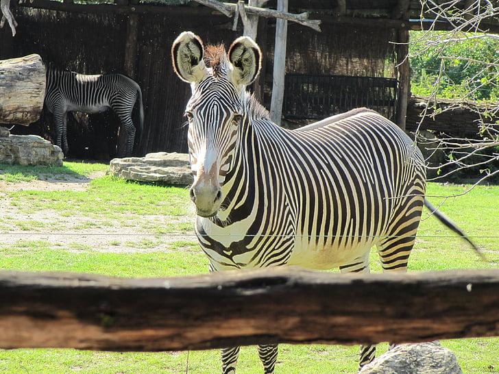 zebra, zoo leipzig, black and white striped, leipzig zoo
