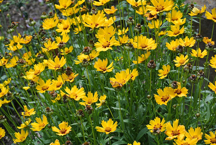 bloem, kruid, Tuin