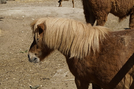 shetland pony, pony, horse, small, ride, coupling