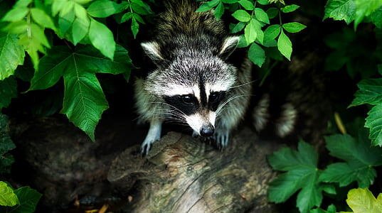 raccoon, animal, wildlife, forest, woods, nature, outdoors