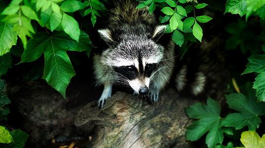 rakun, životinja, biljni i životinjski svijet, šuma, šume, priroda, na otvorenom