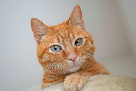 cat, feline, red fur, animal, pet, cute, head