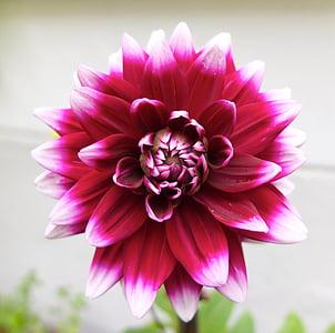 dàlia, flor, flor, flor, planta, jardí, flor ornamental