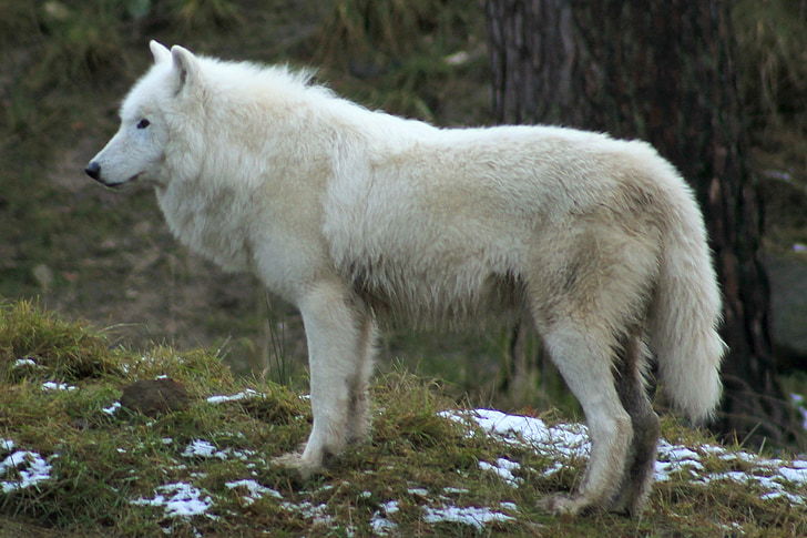 wolf, zoo, forest, canine, mammals, nature, white