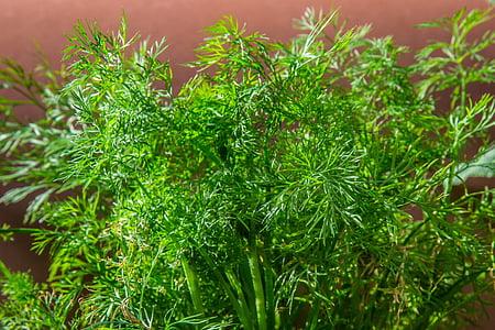 anet, herba, herba de cogombre, aromàtics, aliments, herbes de cuina, jardí