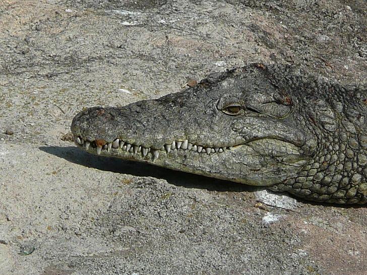 krokodill, juht, roomaja, sunning, looma, Predator, hambad