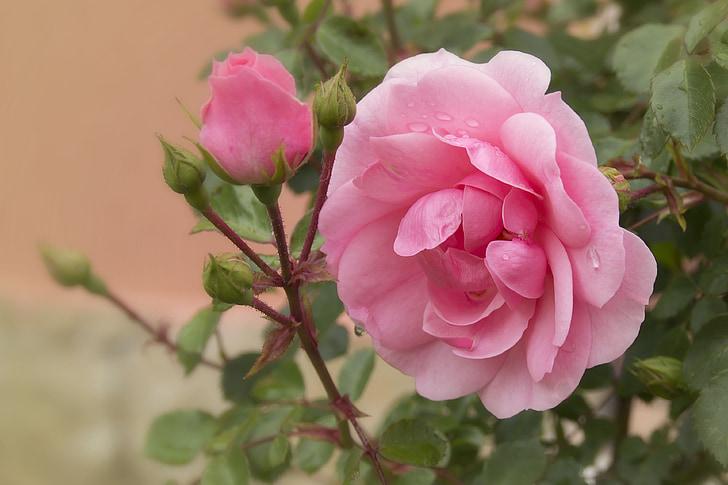 Rosa, Rosa, flor, flors, rosa Rosa, Rosa tendre, Roses roses