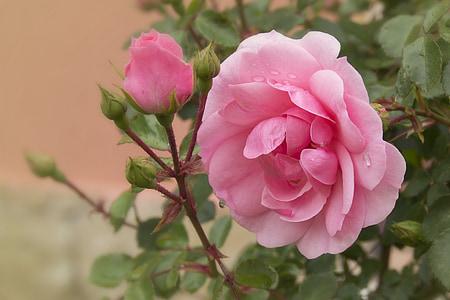 color de rosa, rosa, flor, flores, rosa rosa, Rosa tierno, rosas rosadas