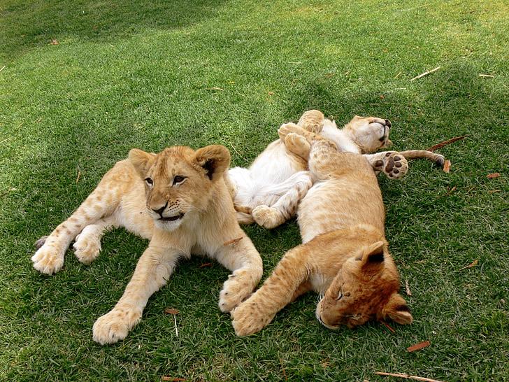 sư tử, sư tử cub, cubs, chơi, chơi, lông thú, con mèo lớn