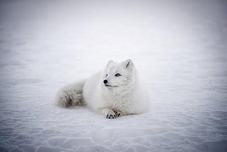 Исландия, арктическа лисица, животните, дива природа, Сладък, сняг, зимни