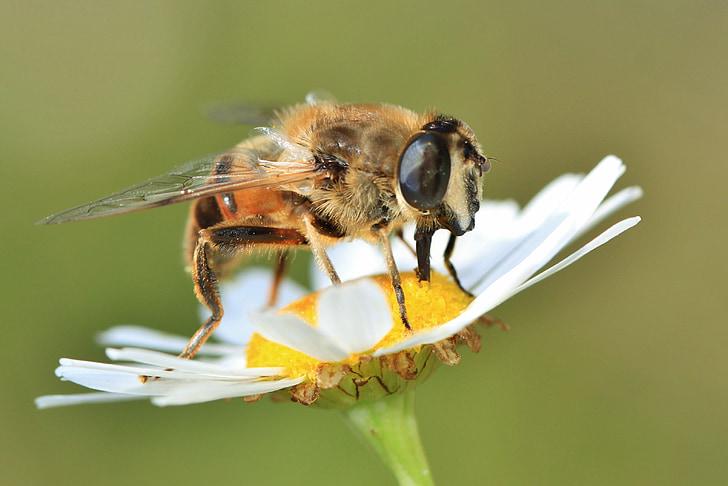 Бджола, Комаха, тварини, завод, Природа, цвітіння, цвітіння