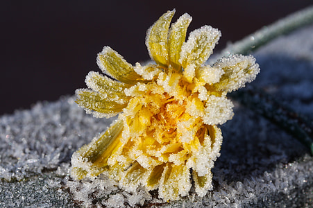 dandelion, ice flowers, frozen, frost, eiskristalle, winter, cold