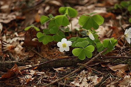 cvet, cvet, gozd, gozdarstvo, narave, blizu, pomlad