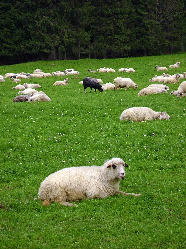 sheep, black sheep, grass, mountains