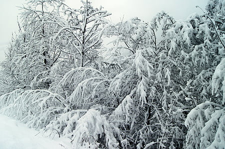 winter, snow, wintry, nature, white, winter bushes