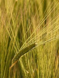 barley field, barley, cereals, grain, cereal, cornfield, field