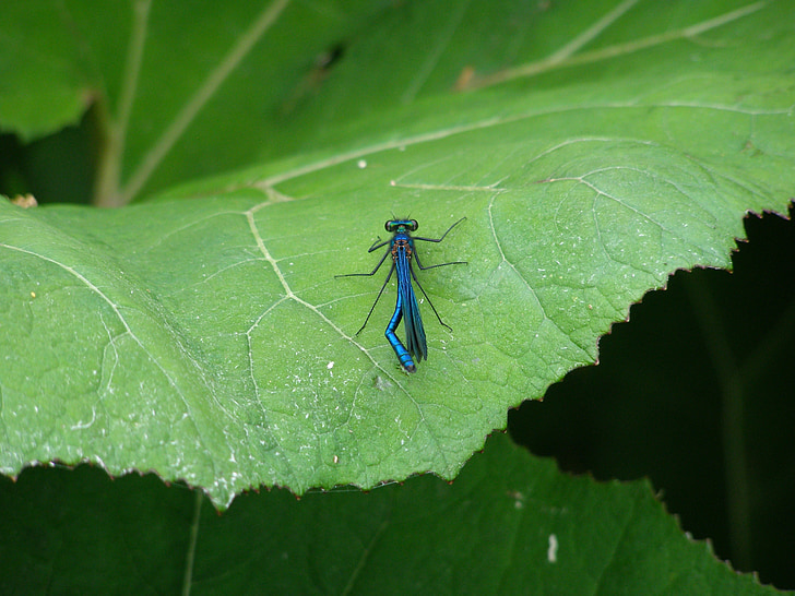 Dragonfly, insect, macro, insect macro, blauw, vlucht insect